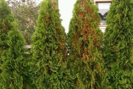 Lebensbaum Wird Braun : thujas werden von innen heraus braun ~ Lizthompson.info Haus und Dekorationen