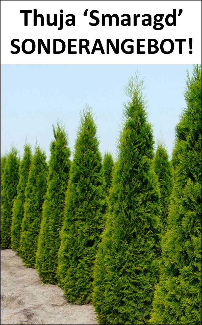 Thuja Smaragd Lebensbaume Kaufen Heckenfreunde De